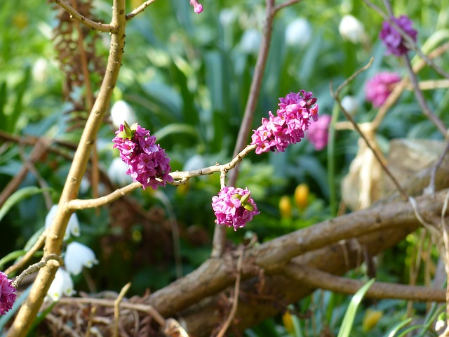 Free daphne smell bloom violet purple branch plant