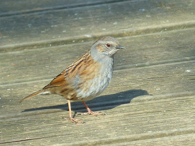 Free dunnock bird animal brown retired