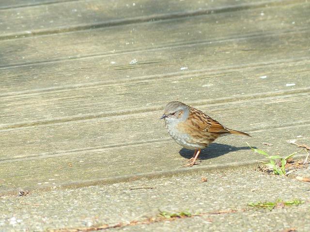 Free dunnock bird animal brown retired