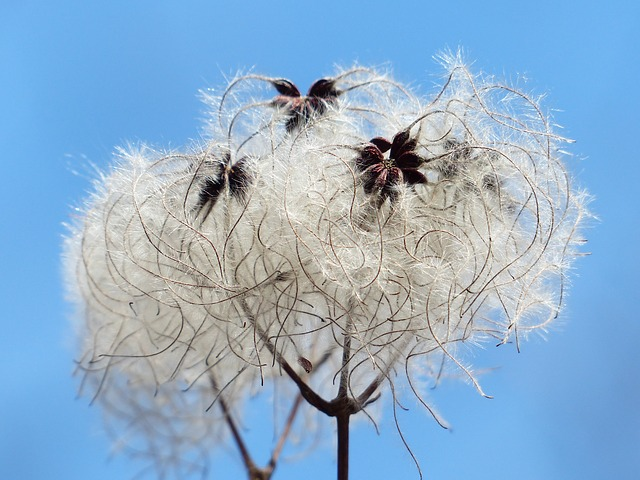 Free                clematis vitalba pods soft fluffy seeds liane