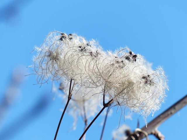 Free clematis vitalba pods soft fluffy seeds liane