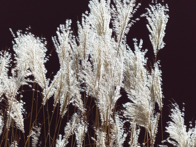 Free miscanthus miscanthus sinensis back light licorice