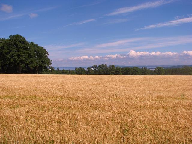Free cornfield field tree summer