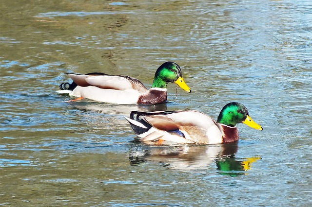 Free ducks wild duck water animal river waters