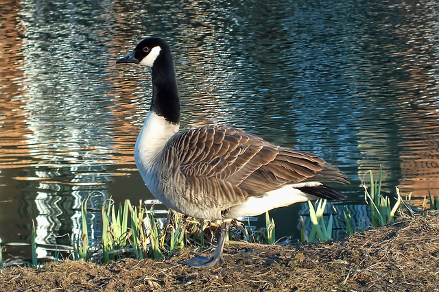 Free goose standing river bird water environment