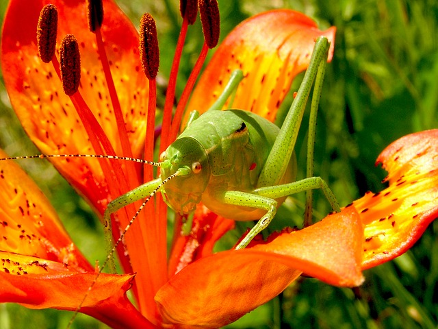 Free                grasshopper martagon lily flowers nature