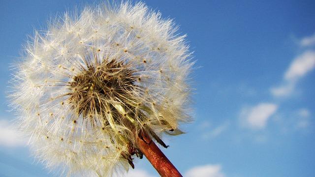 Free               blowball dandelion flower sky seeds