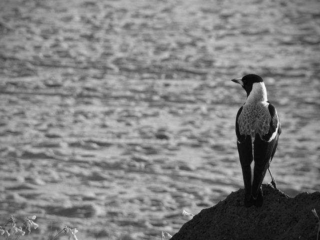 Free magpie bird coast ocean