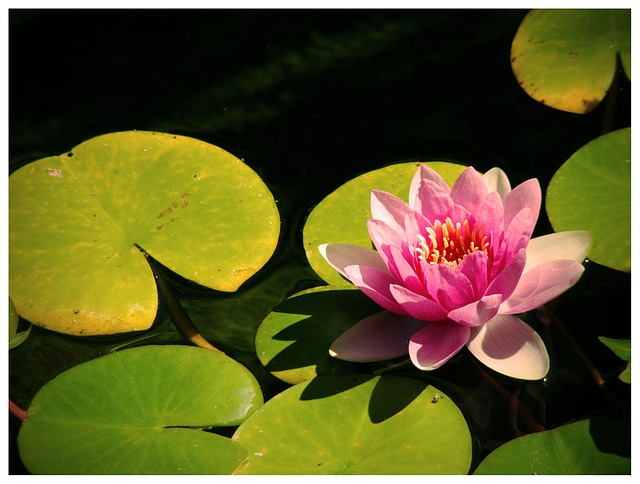 Free water lily water lily water lilies