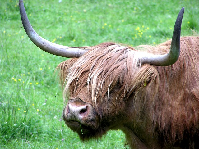 Free haighlander cow bovino animal pasture horns