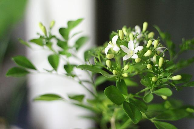 Free orange jasmine potted plant plants flowers