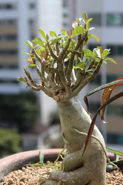 Free ginseng benjamin potted plant apartments veranda