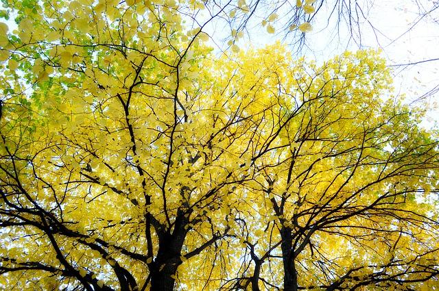 Free autumn golden autumn tree blade