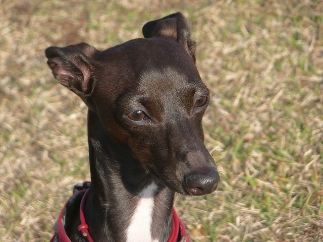 Free greyhound dog canine pet nature outside macro