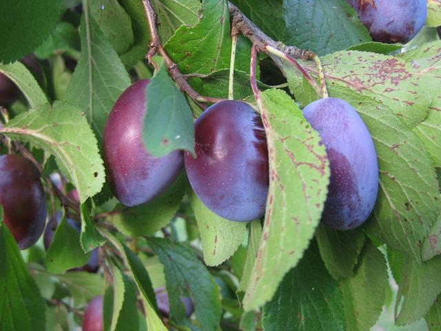 Free plums cultural plum fruit sweet plum