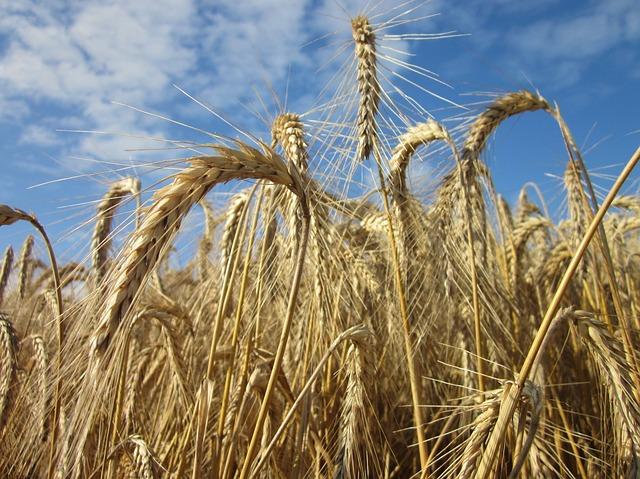 Free cereals sky summer harvest plant