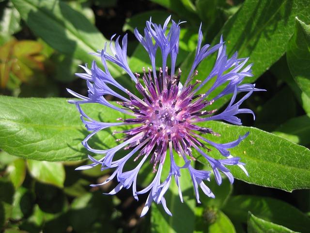 Free Photos:               flower cornflower summer blue | Dietmar Johlen