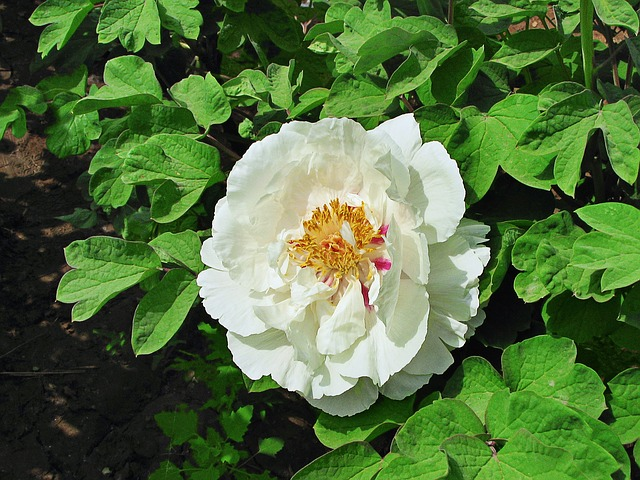 Free flower green leaf white flower flowers peony