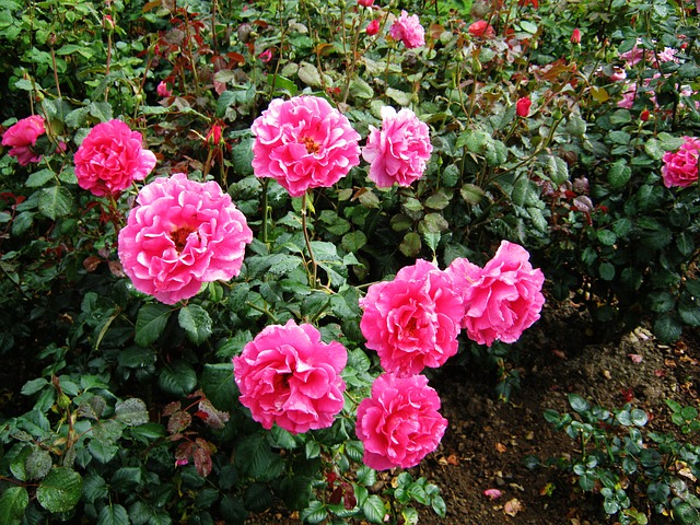 Free roses discounts tiresome flowers bed strong