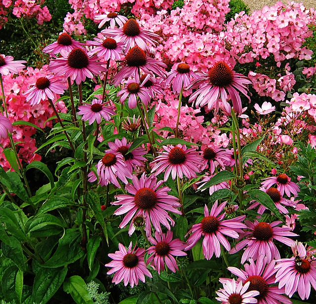 Free sun hat echinacea discounts tiresome flowers bed