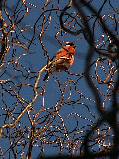 Free bullfinch bird branches twisted willow sky blue