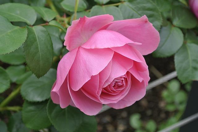 Free roses plants jardim nature