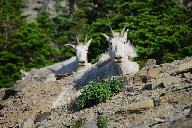 Free mountain goats montana glacier national park hike