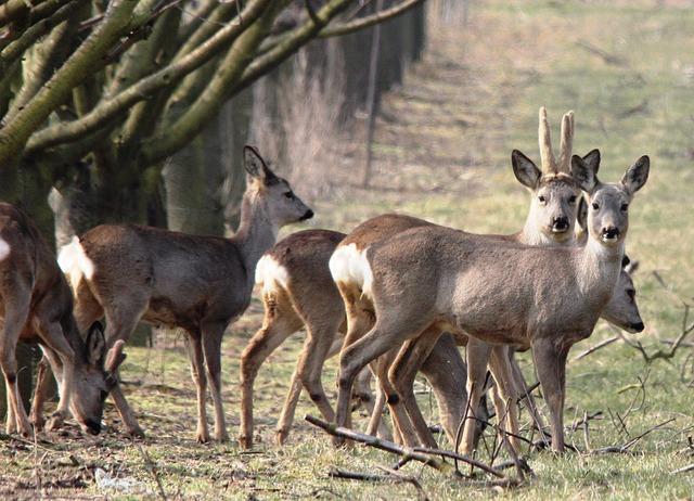 Free roe deer hunting spring nature deer wild
