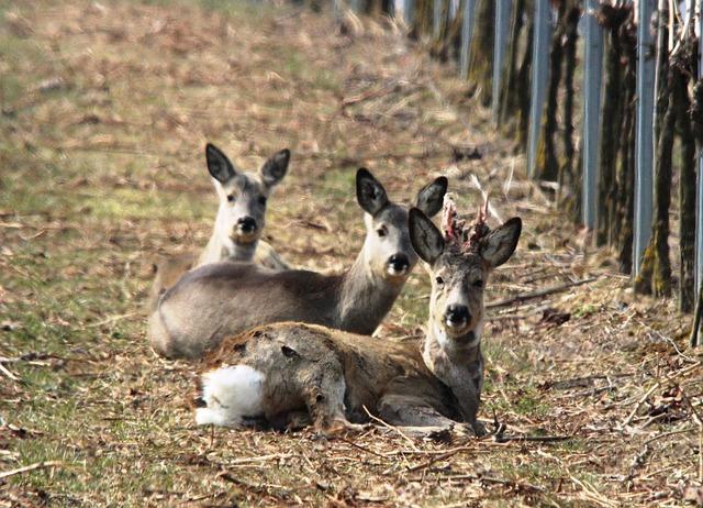 Free roe deer vineyard spring furred game winter