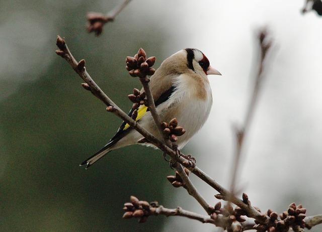 Free stieglitz bird branch wing animal bill feather