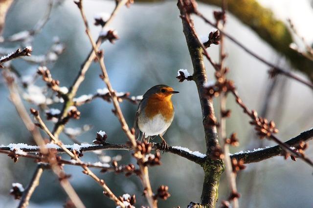 Free robin spring nature bird pets beautiful