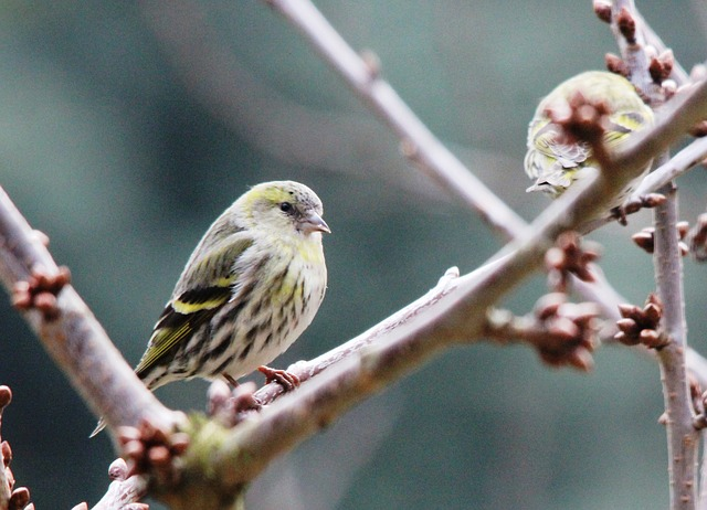Free greenfinch bird feather drawing spring wing