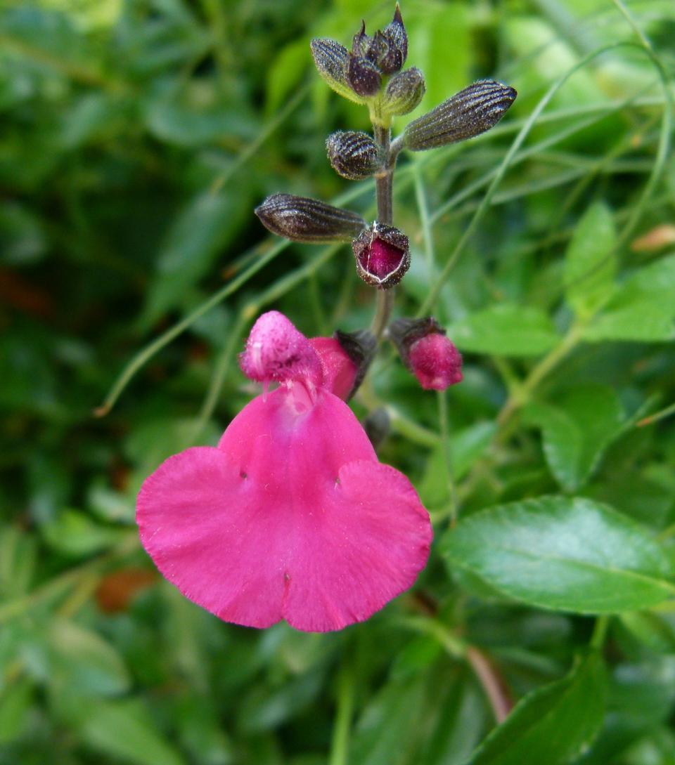 Free Hot Pink Salvia Microphylla Bezerkeley