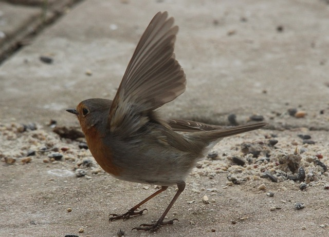 Free departure robin bird pets nature beautiful fly