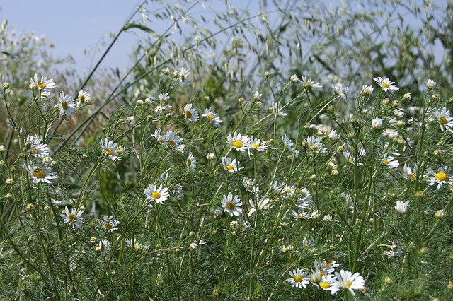 Free meadow chamomile early summer grass green