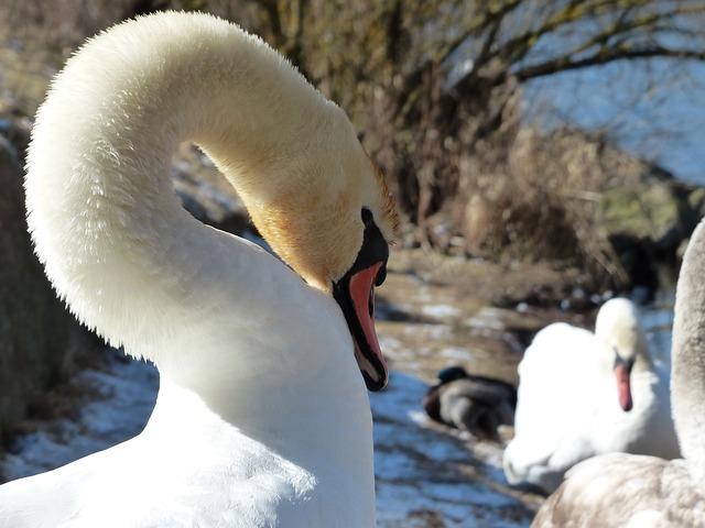 Free mute swan swan clean bird river see waters water
