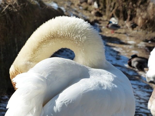 Free mute swan swan clean bird river see waters water