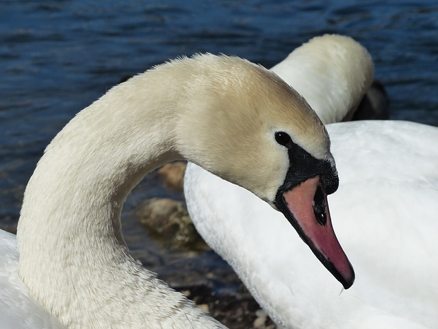 Free mute swan swan bird river see waters water swim