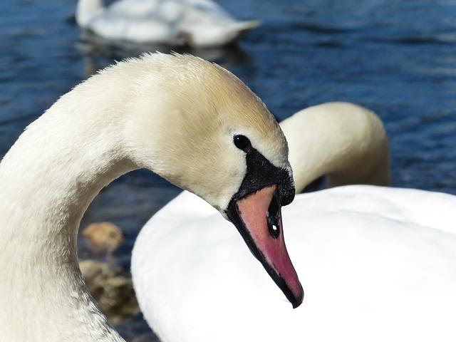 Free               mute swan swan bird river see waters water swim