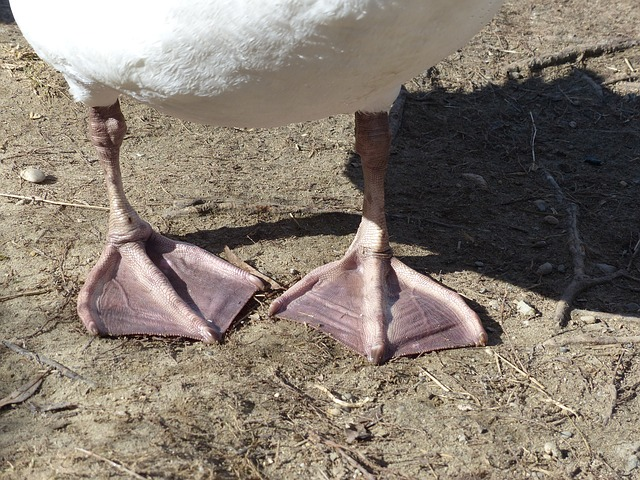 Free mute swan swan bird animal cygnus olor anatidae