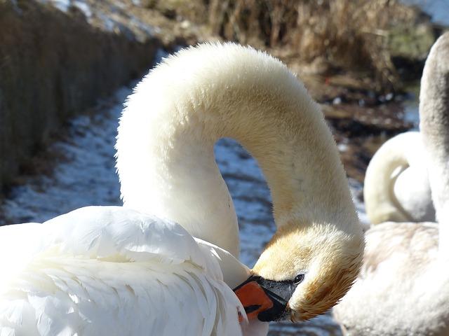Free Photos: Mute swan swan clean bird river see waters water | Hans Braxmeier