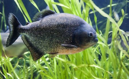 Free Red-bellied piranha in the Aquarium