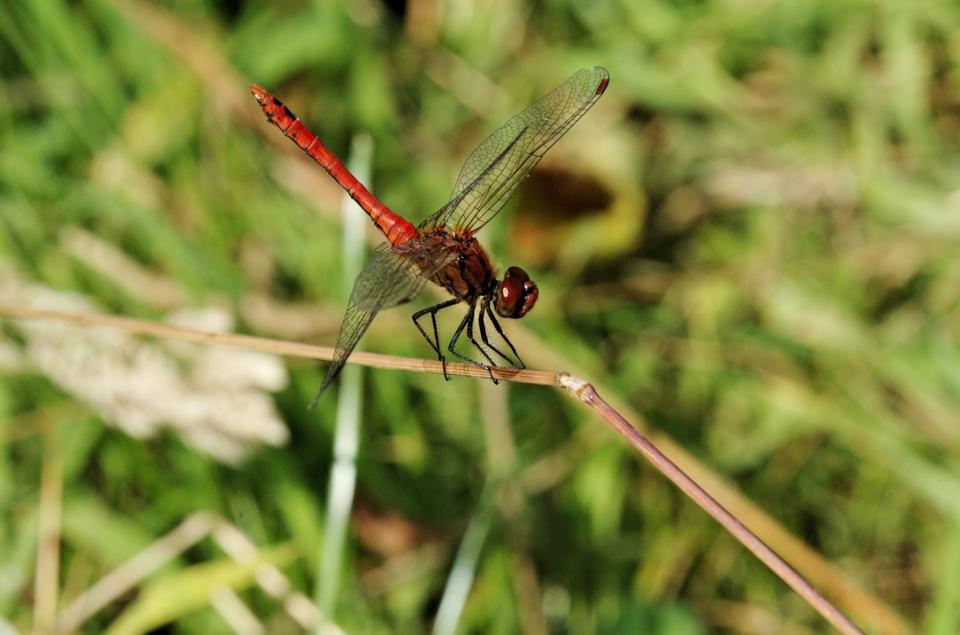 Free Ruddy Darter dragonfly