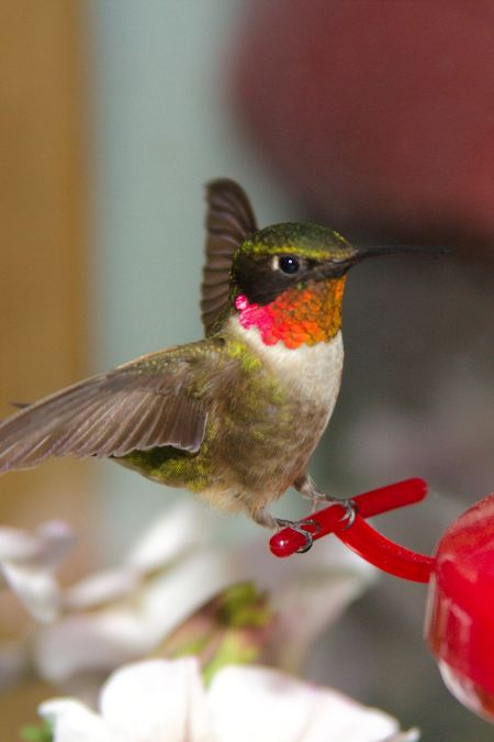 Free A ruby-throated hummingbird