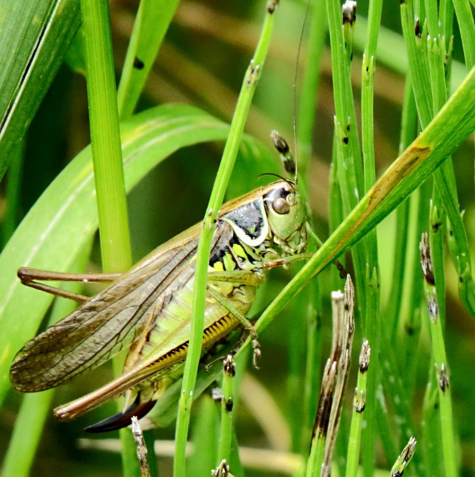 Free Metrioptera roeselii grasshopper summer meadow grass