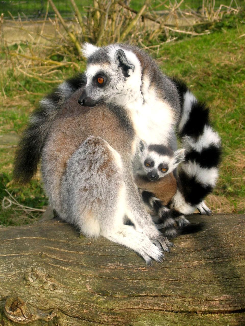 Free Ring tailed lemur