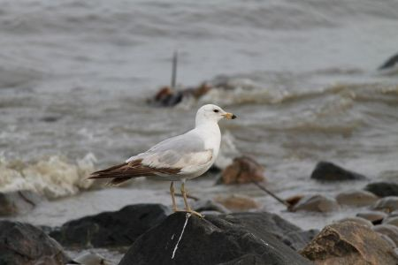 Free Ring-billed gull on rock