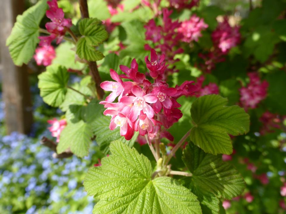 Free Ribes sanguineum flowering currant bloom in spring