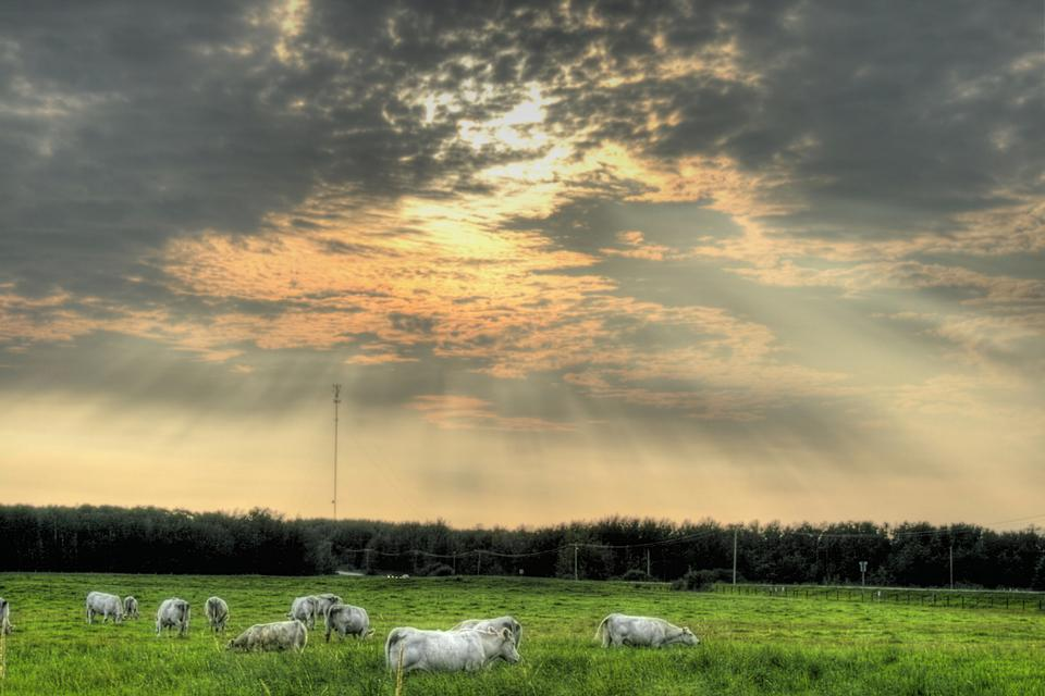 Free A herd of pale cattle grazing