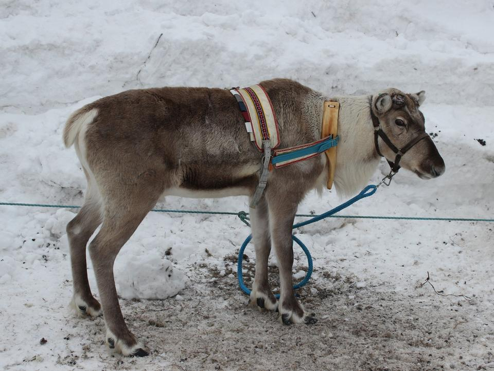 Free Reindeer with peeling shedding velvet on antlers